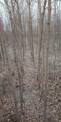 甘肃省武威市凉州区大叶白蜡树 2.5~3米