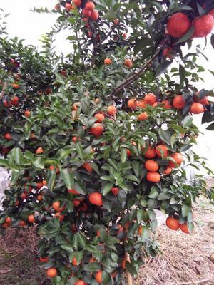 这是一张关于沙糖桔  3.5 - 4cm 1两以下 3-6cm的果实的产品图片
