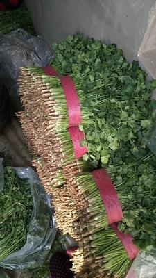 河北省唐山市丰南区小叶香菜 30~35cm