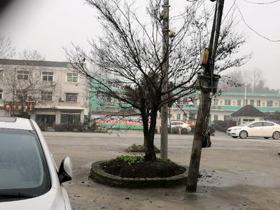 安徽省芜湖市南陵县日本红枫/日本红丝带