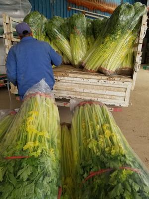 这是一张关于马家沟芹菜 60cm以上 0.5~1.0斤 露天种植 的产品图片