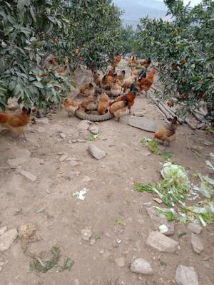 这是一张关于土鸡 3-4斤 母 的产品图片