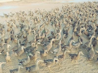 江西省上饶市余干县绿头鸭 2-3斤