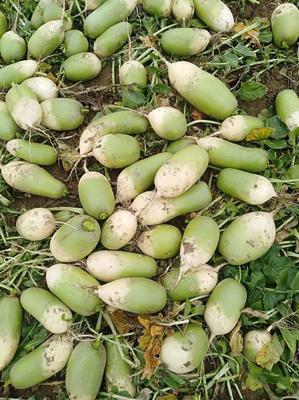 湖北省湖北省天门市791罐萝卜 1.5~2斤