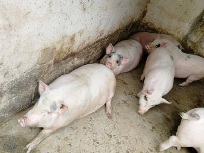 广西壮族自治区南宁市武鸣县土白猪 160-200斤