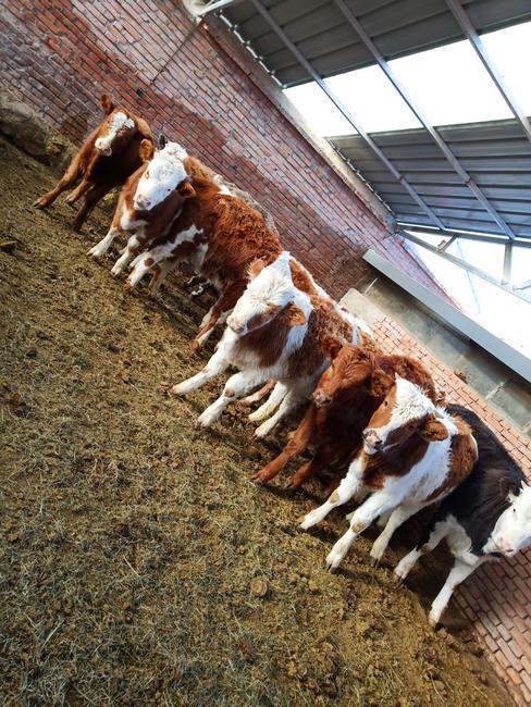 西门塔尔牛 400-600斤 母牛
