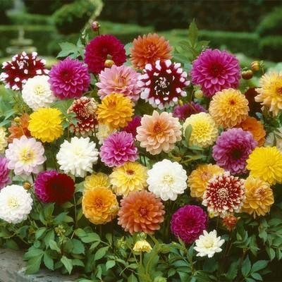 这是一张关于大丽花种子 的产品图片