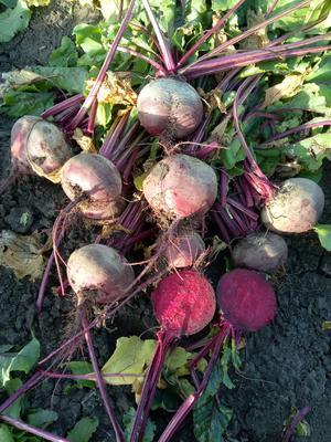 内蒙古自治区呼伦贝尔市满洲里市甜菜根 15~20cm