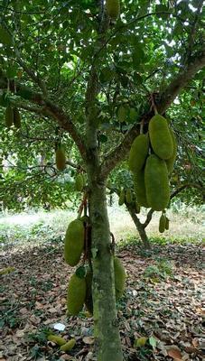 海南省三亚市吉阳区海南菠萝蜜  15斤以上 一个约27至30斤
