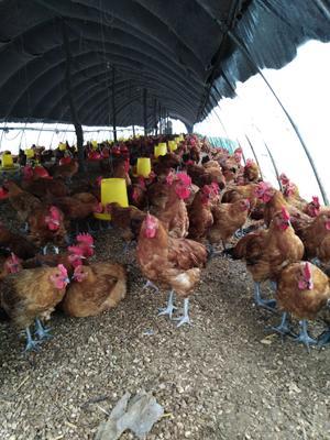 这是一张关于土鸡 6-7斤 公 的产品图片
