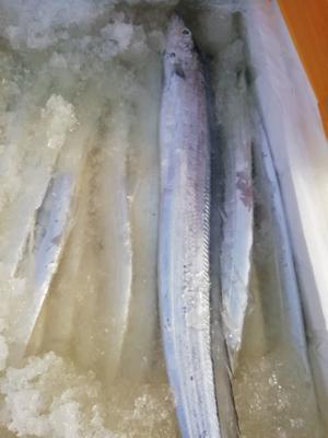 江苏省连云港市赣榆区北部湾带鱼 人工殖养 1-1.5公斤