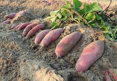 山东省枣庄市山亭区济紫薯1号 1斤以上