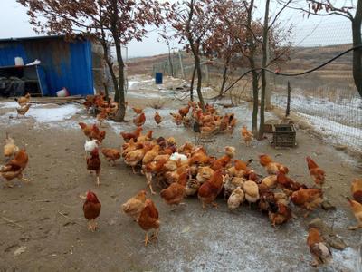 湖北省随州市广水市阉鸡 3-4斤 公