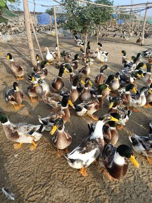 广西壮族自治区北海市合浦县青头麻鸭 5-6斤 公 全散养