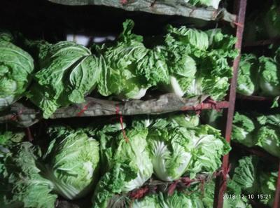 河北省邯郸市曲周县东京868 6~10斤 净菜 精品5-10斤