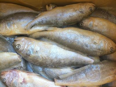 山东省滨州市沾化区大黄鱼 野生 0.5公斤以下