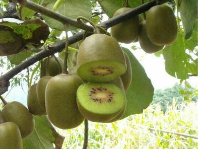 这是一张关于翠玉猕猴桃苗 嫁接苗 的产品图片