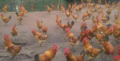 重庆永川区土鸡 4-5斤 母