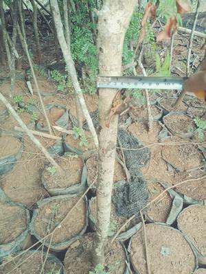 这是一张关于清香木  米径三公分清香木上车的产品图片