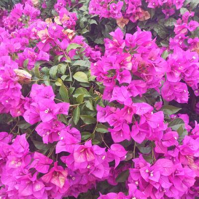 四川省宜宾市南溪区紫花三角梅 0.5~1.0米