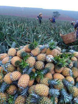 海南省海口市琼山区海南菠萝 1 - 1.5斤