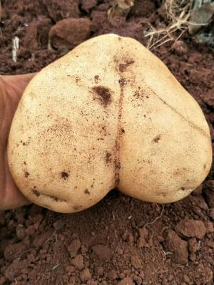 上海浦东新区丽薯2号土豆 4两以上