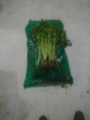 山东省潍坊市坊子区小叶香菜 35cm以上