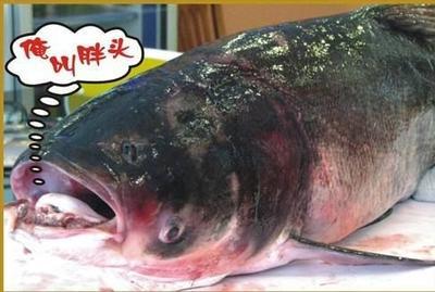江苏省连云港市东海县花鲢 野生 1.5-3公斤