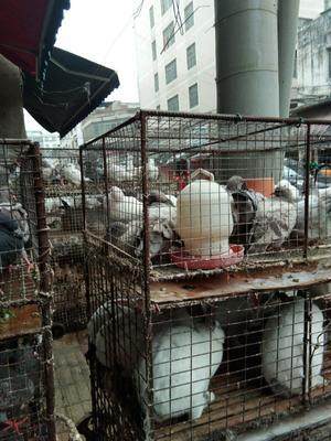 广西壮族自治区来宾市兴宾区土鸽子 500-600克
