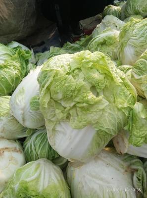 河北省邯郸市曲周县青杂三号白菜 3~6斤 净菜