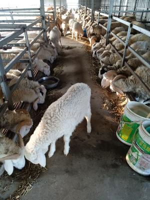 安徽省池州市东至县小尾寒羊 80-110斤