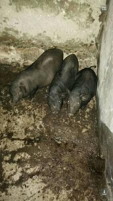 广西壮族自治区环江香猪 20-40斤