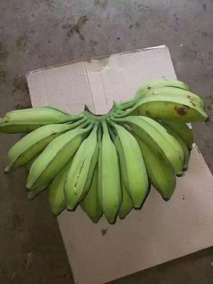 广东省广州市南沙区芭蕉 八成熟