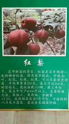 这是一张关于红梨苗 1~1.5米 的产品图片