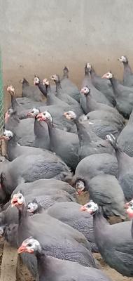 江苏省扬州市江都区灰色珍珠鸡 2-4斤