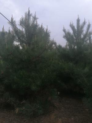 甘肃省庆阳市西峰区旱地油松