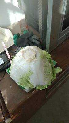 这是一张关于秦杂二号大白菜 通货 净菜 的产品图片