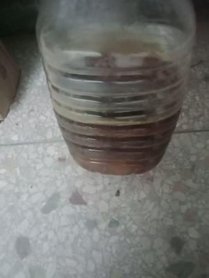 湖南省永州市东安县野生山茶油