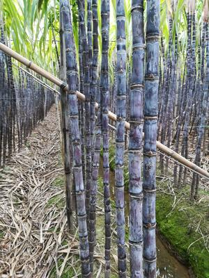 广东省广州市南沙区黑皮甘蔗 5 - 6cm 3m以上