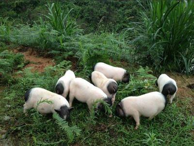 湖南省永州市冷水滩区巴马香猪 60斤以上