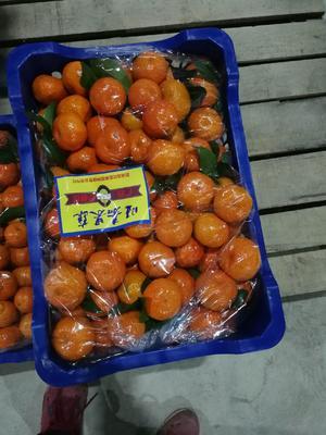 广西壮族自治区桂林市荔浦县沙糖桔 4 - 4.5cm 1 - 1.5两