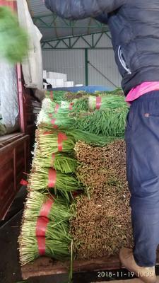 宁夏回族自治区银川市灵武市仙子韭菜 三茬 40~45cm