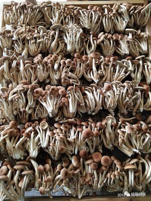 湖北省孝感市大悟县广昌3号茶树菇 10~12cm 已开伞 干茶树菇