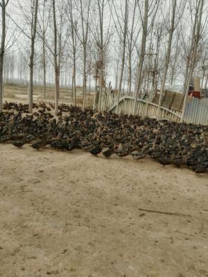河南省焦作市孟州市绿头鸭 2-3斤
