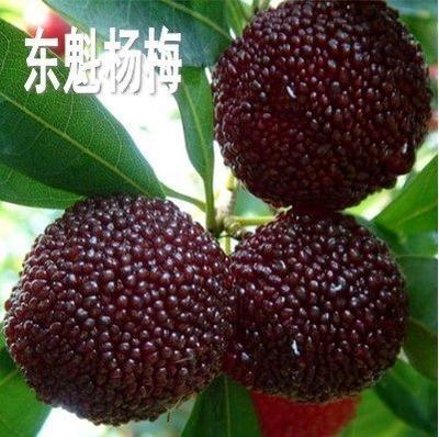 这是一张关于东魁杨梅树苗 的产品图片