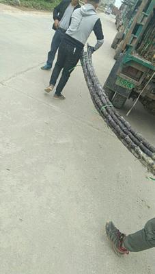 湖南省湘西土家族苗族自治州保靖县黑皮甘蔗 6 - 8cm 2.5 - 3m