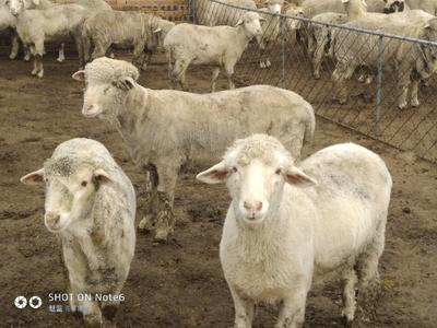 山西省忻州市忻府区绵羊  80-110斤 大批育肥羊羔出售!