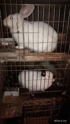 贵州省毕节市赫章县肉兔 3-5斤