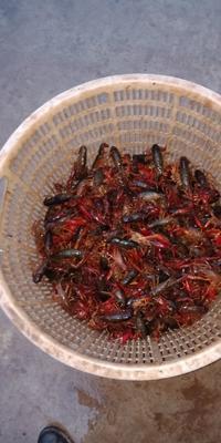 重庆铜梁区红壳小龙虾 1-3钱 塘虾