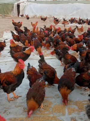 安徽省宿州市灵璧县三黄鸡 3-4斤 公
